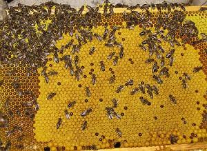 IMG_0862-Bienen-auf-Wabe-01