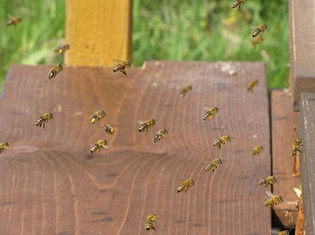 IMG_0755-Bienen-mit-Pollenh