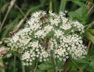 IMG_6174 Wildbienen auf Engelwurz 450